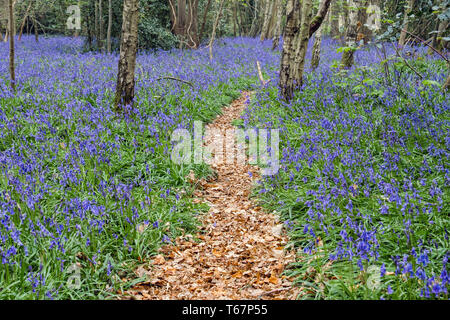 Leafy path through native English Bluebells growing in a deciduous Bluebell wood in spring. West Stoke, Chichester, West Sussex, England, UK, Britain - Stock Image