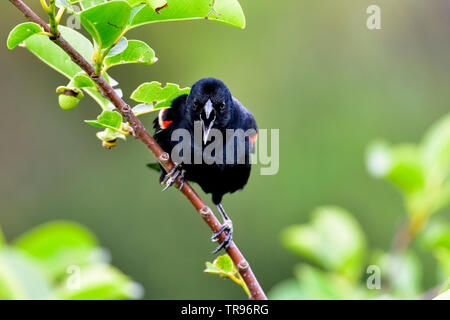 Red-winged blackbird is delivering a strong message - Stock Image