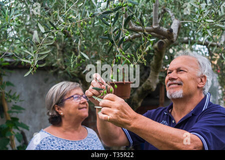 olive tree. elderly senior couple in countryside like home farm work together, with plants cutting and repair them. family concept of life forever tog - Stock Image