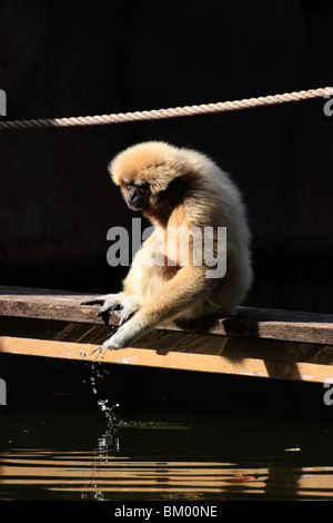 A gibbon monkey taking water out of the pond. vertical - Stock Image