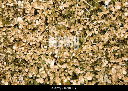 Abstract flat lay view of painted golden Clover leaves in grass in yard. Gardening background concept. - Stock Image