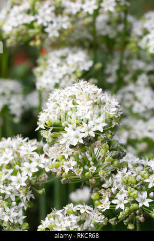 Allium tuberosum. Garlic chives in flower. - Stock Image