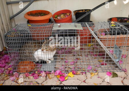 Feral cat caught in a humane cat trap prior to being neutered and released, Kingdom of Bahrain - Stock Image