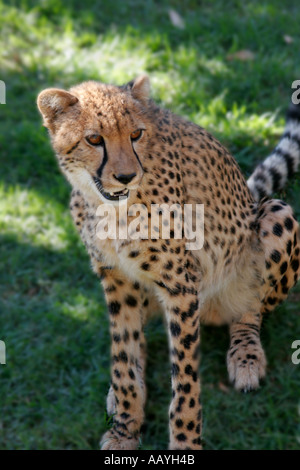south africa outdshorn game park cheetah - Stock Image