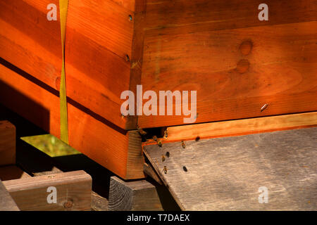 macro hot of bees flying in a wooden hive, nature wooden beehive and flying bees - Stock Image