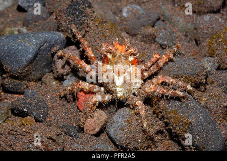 Spider Crab, or Majoid Crab, Herbstia sp. Tulamben, Bali, Indonesia. Bali Sea, Indian Ocean - Stock Image