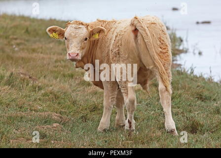 calf standing on rough pasture  Cley Marshes Nature Reserve, Cley-next-the-Sea; Norfolk, UK          August - Stock Image