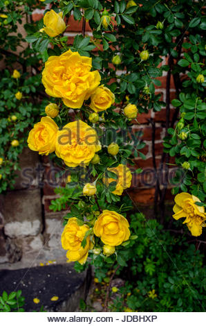 Romantic and dreamy midsummer in Sweden, yellow roses on red brickwall. - Stock Image