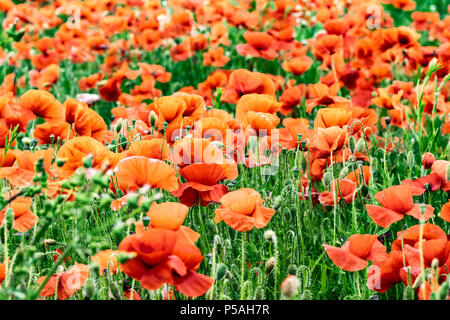 Field of wild flower poppies - Stock Image