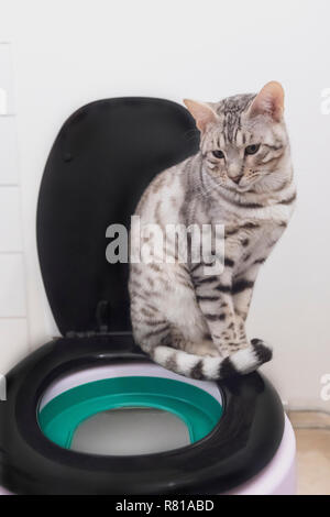 Silver spotted young male Bengal cat sitting on toilet seat rim looking uninterested during toilet training - Stock Image