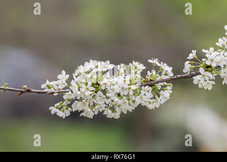 botany, cherry, blooming cherry tree, Lower Saxony, Additional-Rights-Clearance-Info-Not-Available - Stock Image