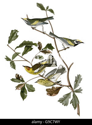 1 Cape May Warbler, Dendroica tigrina, 2 Golden-winged Warbler, Vermivora chrysoptera, birds, 1827 - 1838 - Stock Image