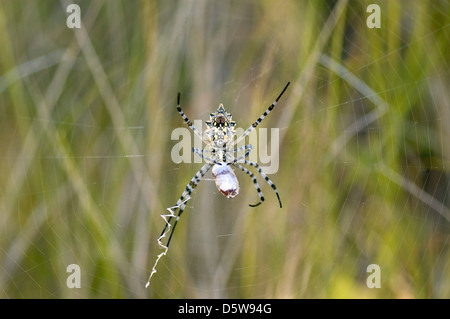 Lobed orb weaver spider female (Argiope lobata: Araneidae) with wrapped prey, in its web, Namibia - Stock Image