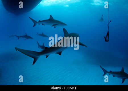 Eight Caribbean Reef Sharks (Carcharhinus perezi) During Safety Stop. Tiger Beach, Bahamas - Stock Image