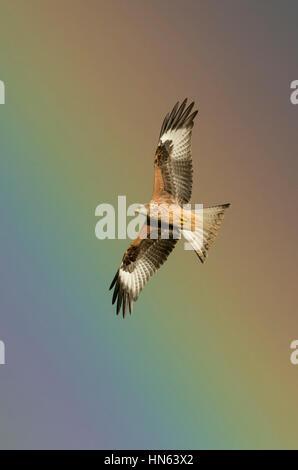Red kite (Milvus milvus) adult in flight in rain shower, with rainbow. Powys, Wales. November. - Stock Image