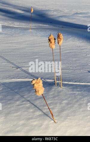 Quebec,Canada. Cattails in the winter - Stock Image
