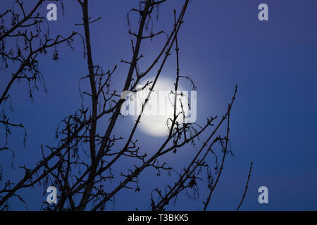 The moon rising behind a tree against a blue sky. - Stock Image