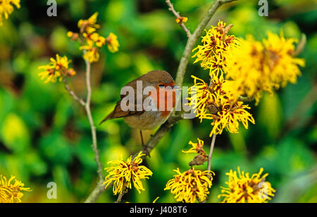 Close up of a Robin with Witch Hazel Hamamelis - Stock Image