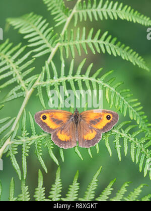 Male Gatekeeper butterfly (Pyronia tithonus) settled with wings spread on a Bracken frond - Stock Image