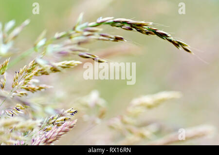 Grass, shot before flowering with low depth of field. - Stock Image
