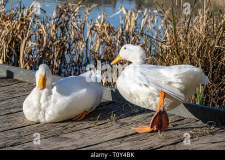 White duck stretching orange legs - Stock Image