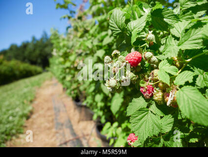 Raspberries growing on raspberry canes in a pick your own fruit farm in the English countryside, UK. - Stock Image
