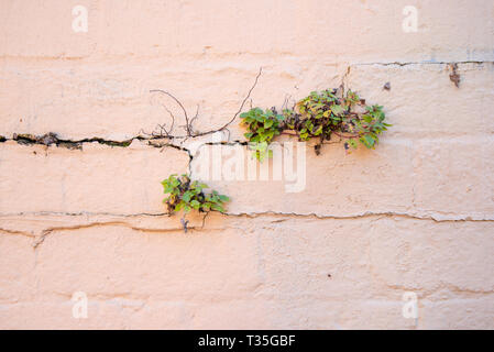 A small green plant growing in the cracks of a painted brick wall in Sydney Australia - Stock Image