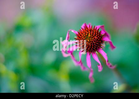 Echinacea purpurea - Pink / Purple Coneflower Head (with twisty curly petals) - Stock Image