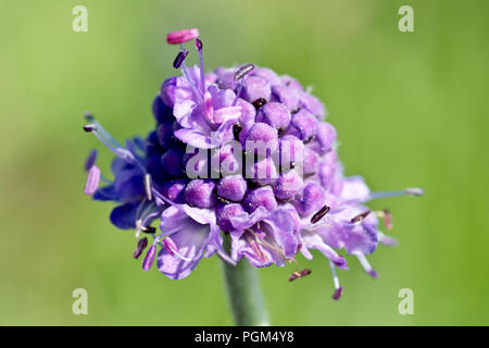 Devil's-bit Scabious (succisa pratensis), close up of a single flower head. - Stock Image