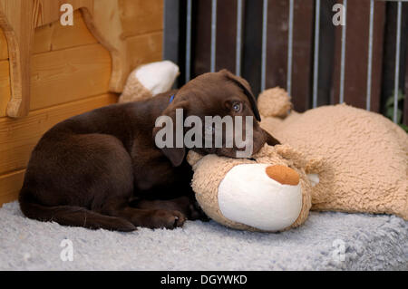 Brown Labrador Retriever, puppy lying on a plush toy - Stock Image