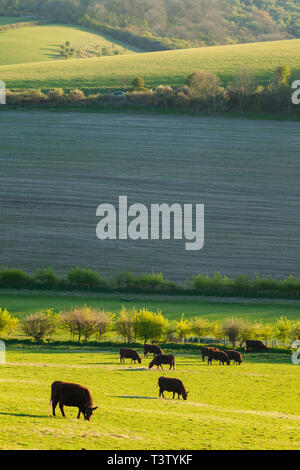 Cattle grazing in South Downs National Park, West Sussex, England. - Stock Image