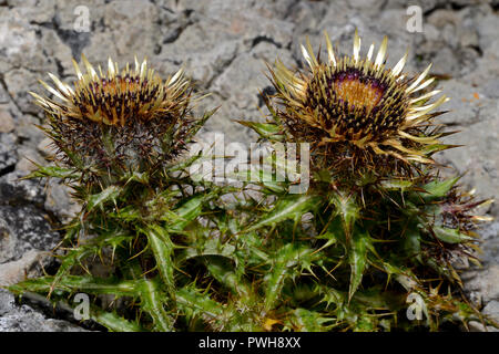 Carlina vulgaris (carline thistle) typically occurs in well-grazed grasslands on dry, infertile, calcareous soils. It has a Eurosiberian distribution. - Stock Image
