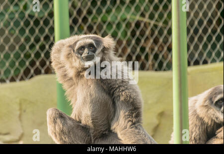 Silvery Gibbons - Stock Image