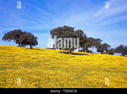 Meadow in spring. Cornalvo Nature Reserve, Badajoz province, Extremadura, Spain. - Stock Image