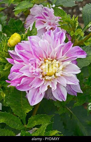 Close up of flowering Dahlia 'Californian Sunset' in a garden flower border - Stock Image