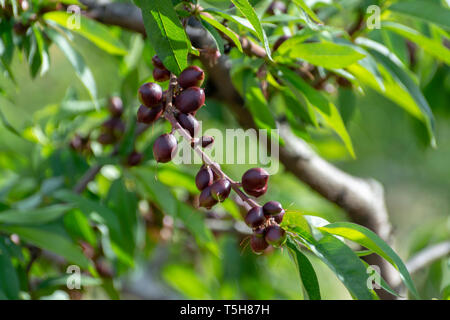 Small unripe apricots fruits riping on apricot tree in spring, farming in Greece - Stock Image