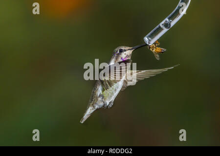 Immature male Costa's Hummingbird (Calypte costae) shares a feeder with a honeybee (Apis mellifera). Tucson - Stock Image