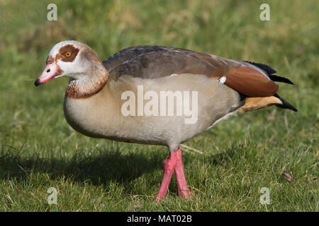 adult Egyptian Goose (Alpochen aegyptiacus) walking on grass - Stock Image
