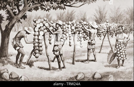 Drying copra in the South Sea Islands to obtain oil.   After a work by J. Macfarlane. From a contemporary print c.1935. - Stock Image