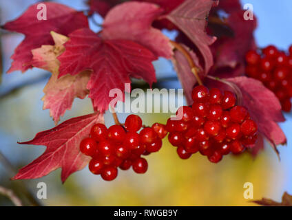 European Cranberry Bush, Snowball Tree, Guelder Rose (Viburnum opulus). Twig with ripe berries in autumn, Germany - Stock Image