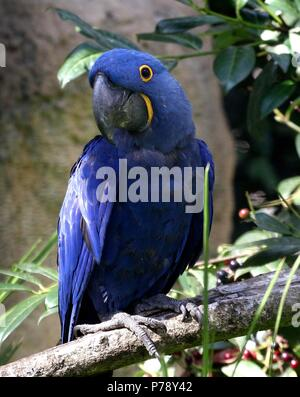South American Hyacinth Macaw (Anodorhynchus hyacinthinus). in closeup. - Stock Image