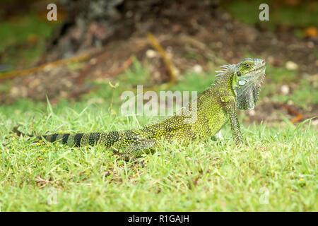 young female Iguana iguana, Guadeloupe, French West Indies. - Stock Image