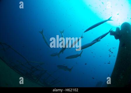 Mediterranean barracuda, Sphyraena viridensis, in Malta. - Stock Image