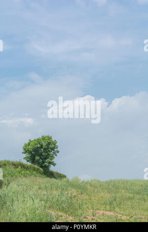 Solitary tree / isolated tree in cropped field with blue sky behind. - Stock Image