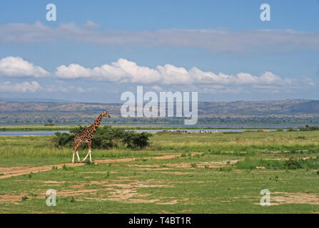 Rothschilds Giraffe (Giraffa camelopardalis rothschildi) adult walking on savanna  Murchison Falls National Park, Uganda                      November - Stock Image