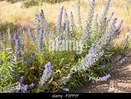 Viper's bugloss, echium vulgare, flowering at Shingle Street, Hollesley, Suffolk, England, UK - Stock Image