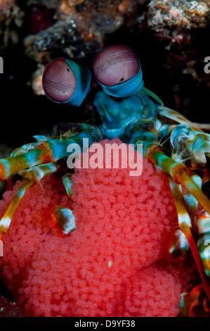 Peacock Mantis Shrimp, Odontodactylus scyllarus, Protecting eggs, Lembeh Strait, Sulawesi, Indonesia - Stock Image