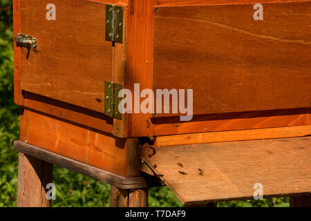 close up of bees flying in a hive blurred shot, nature wooden beehive and flying bees - Stock Image