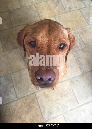 A pet Labrador retriever dog looking upwards to the camera whilst sitting and looking adorable and cute with copy space - Stock Image