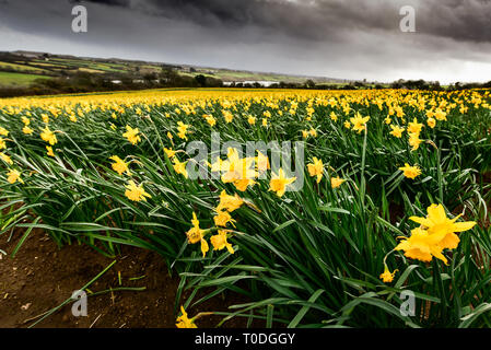 A large field full of daffodils Narcissus being grown for bulbs. - Stock Image
